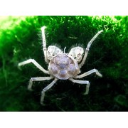 10 Live Thai Micro Spider Crabs (Limnopilos naiyanetri) - 1/4 to 1/2 inch in diameter - Fully Aquatic! by Aquatic Arts
