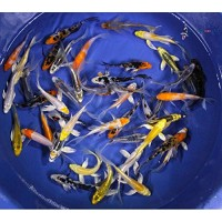 Blue Ridge Koi Grade AA Butterfly Fin Koi by Live Pond Fish - Highest Quality for Aquarium and Tank, Healthy and Bio-Secure - Live Arrival Guarante...