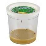 5 LIVE Caterpillars - Cup of Caterpillars - Butterfly Kit Refill - Shipped Now