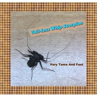 Insectsales.com LIVE Tail-less Whip Scorpion - Harmless and Tame - Fun Pet - Educational - Easy Care
